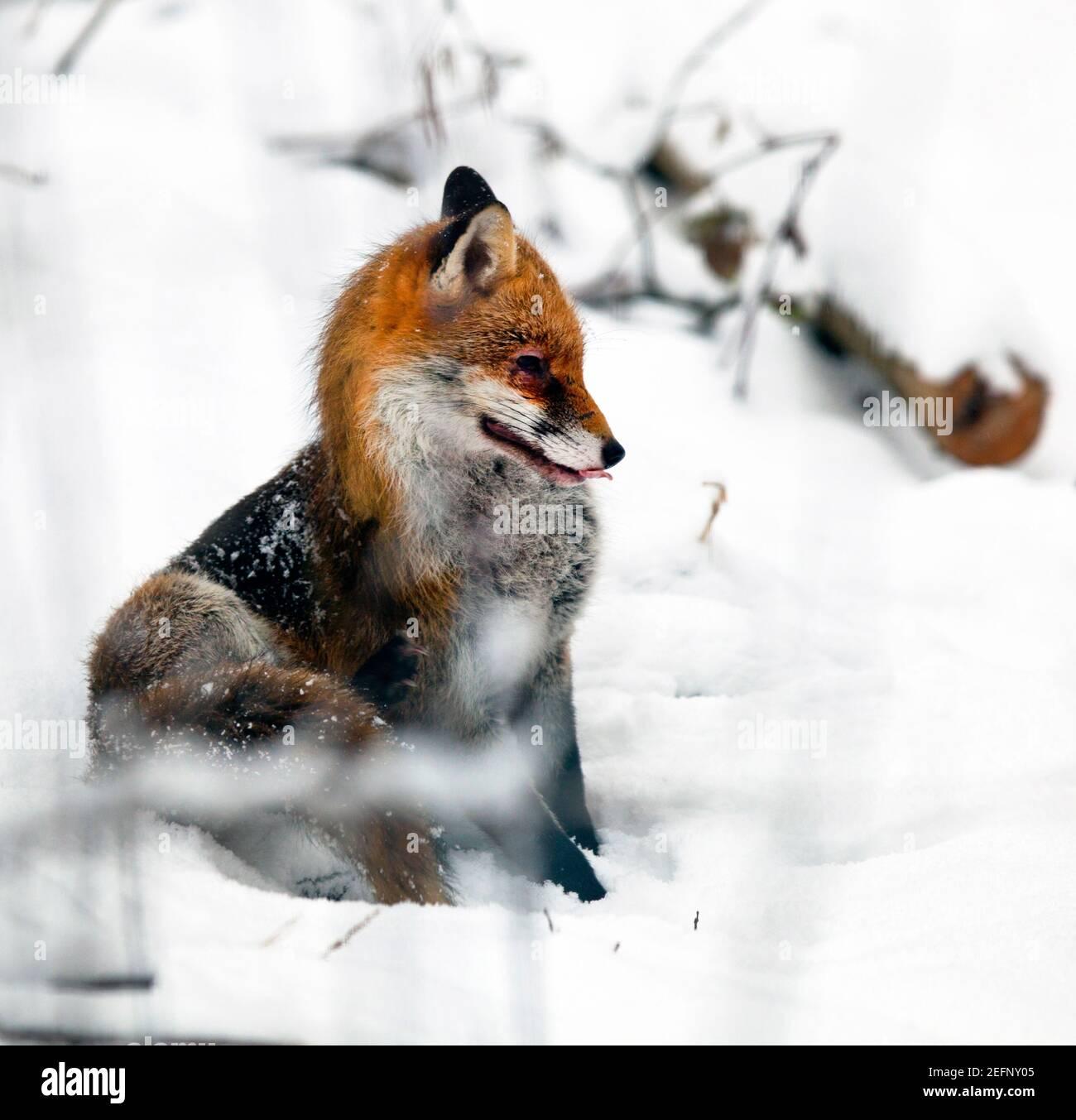 Un renard ( Vulpes vulpes ) assis dans la campagne enneigée du Kent, au Royaume-Uni, pendant l'hiver . Janvier 2021 Banque D'Images