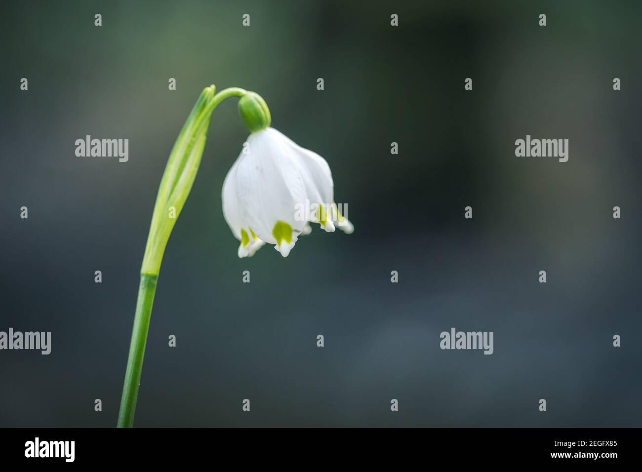 Leucojum vernum ou flocon de neige printanier - fleurs blanches en fleurs au début du printemps dans la forêt, macro de clôture photo. Banque D'Images