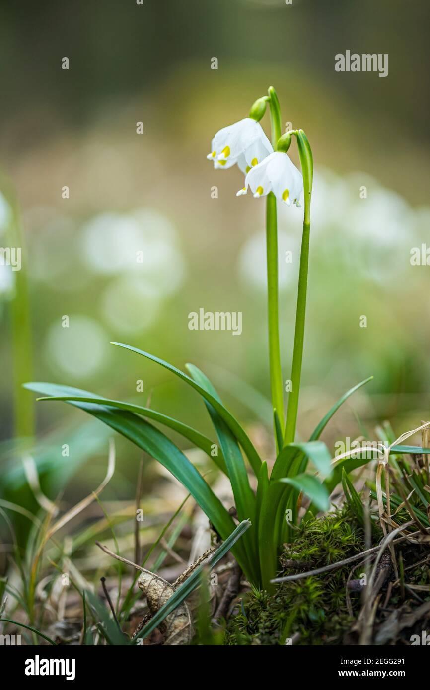 Leucojum vernum, appelé flocon de neige de printemps, dans la forêt de printemps. Belle moquette de flocon de neige de printemps fleuri. Concept de ressort. Banque D'Images