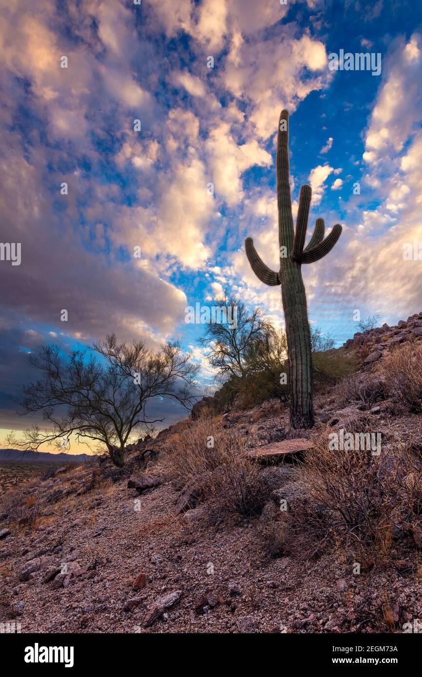 Cactus Saguaro et paysage désertique avec ciel spectaculaire en Arizona. Banque D'Images