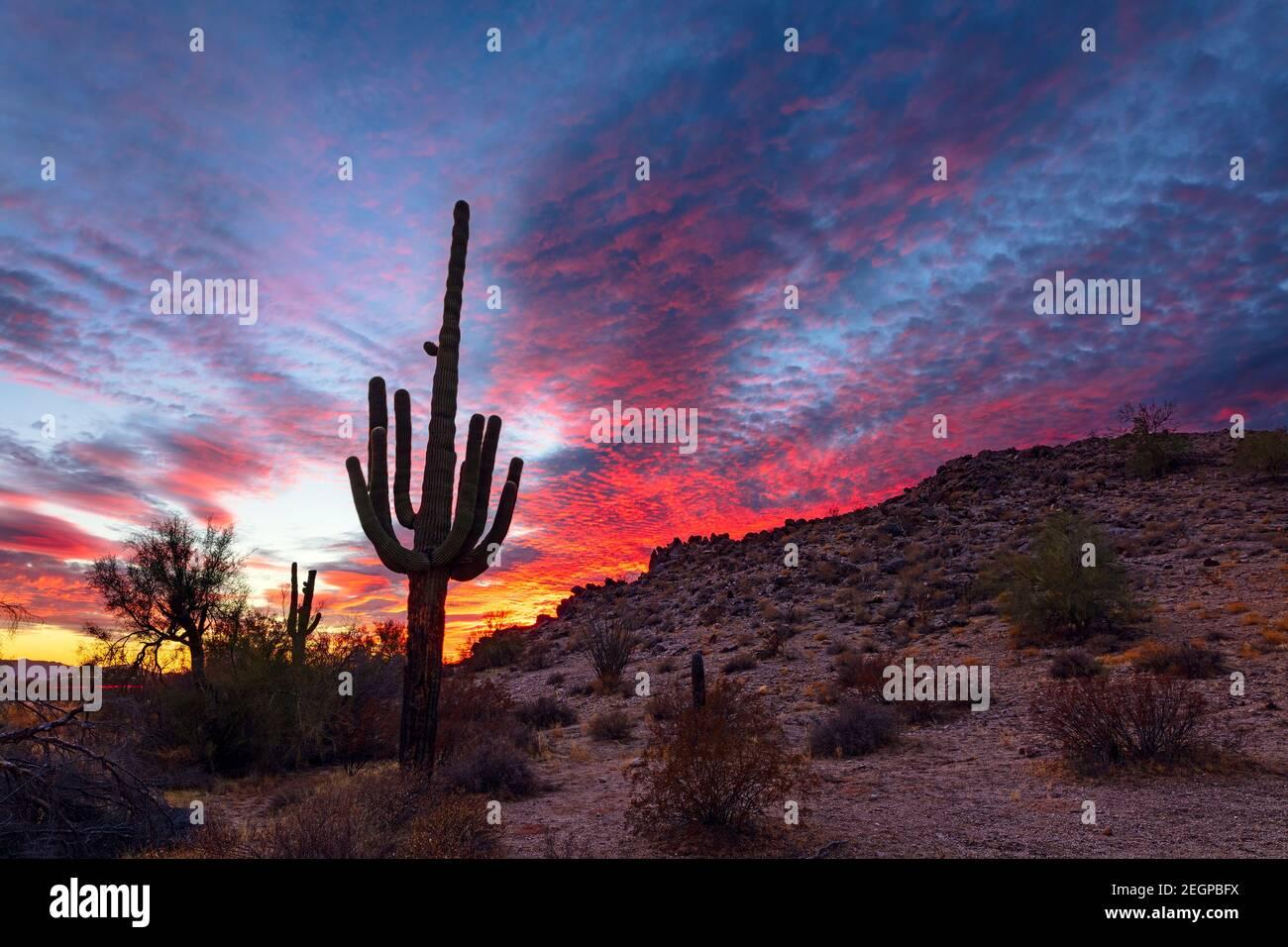 Paysage pittoresque du désert avec Saguaro Cactus et spectaculaire coucher de soleil dans le monument national du désert de Sonoran, Arizona, États-Unis Banque D'Images