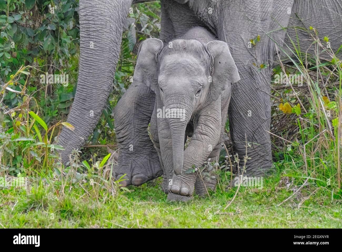 Éléphant d'Asie (Elepha maximus) dans la jungle. Parc national de Kaziranga, Assam, Inde Banque D'Images