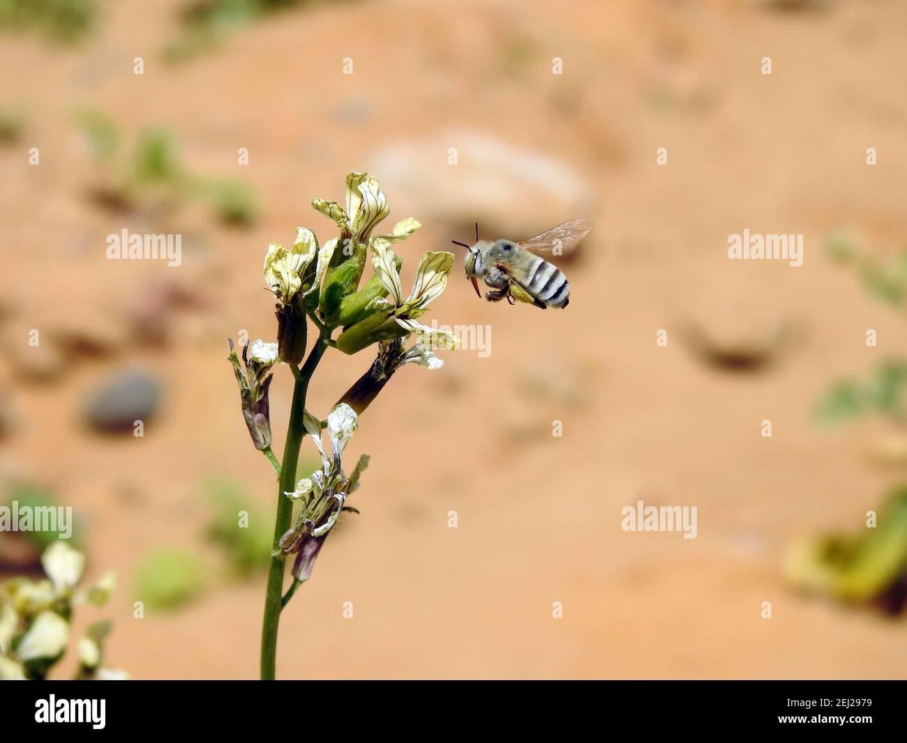 Une petite abeille volante autour d'une fleur d'arugula , consommant le nectar d'une fleur Banque D'Images