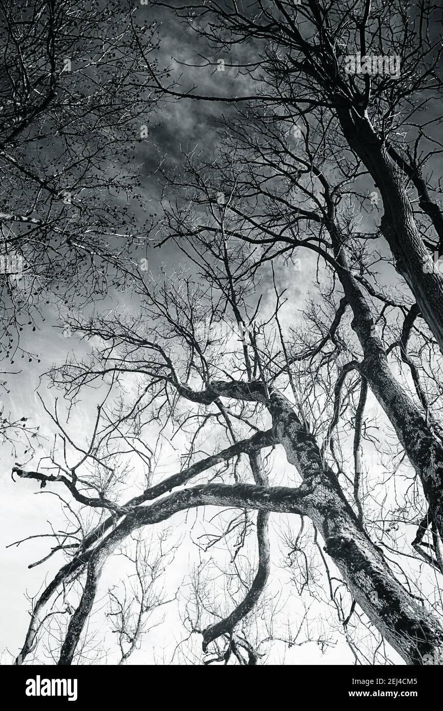 Ciel spectaculaire à travers les branches arides des arbres en hiver, fond de nature noir et blanc Banque D'Images