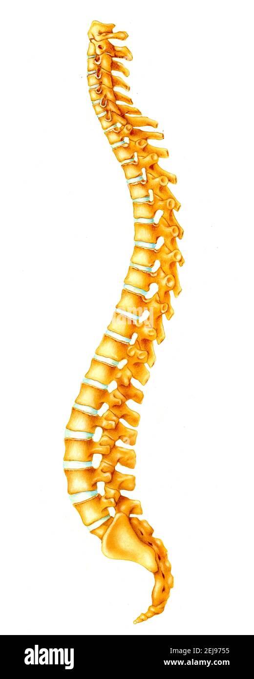 Colonne vertébrale, dessin Banque D'Images