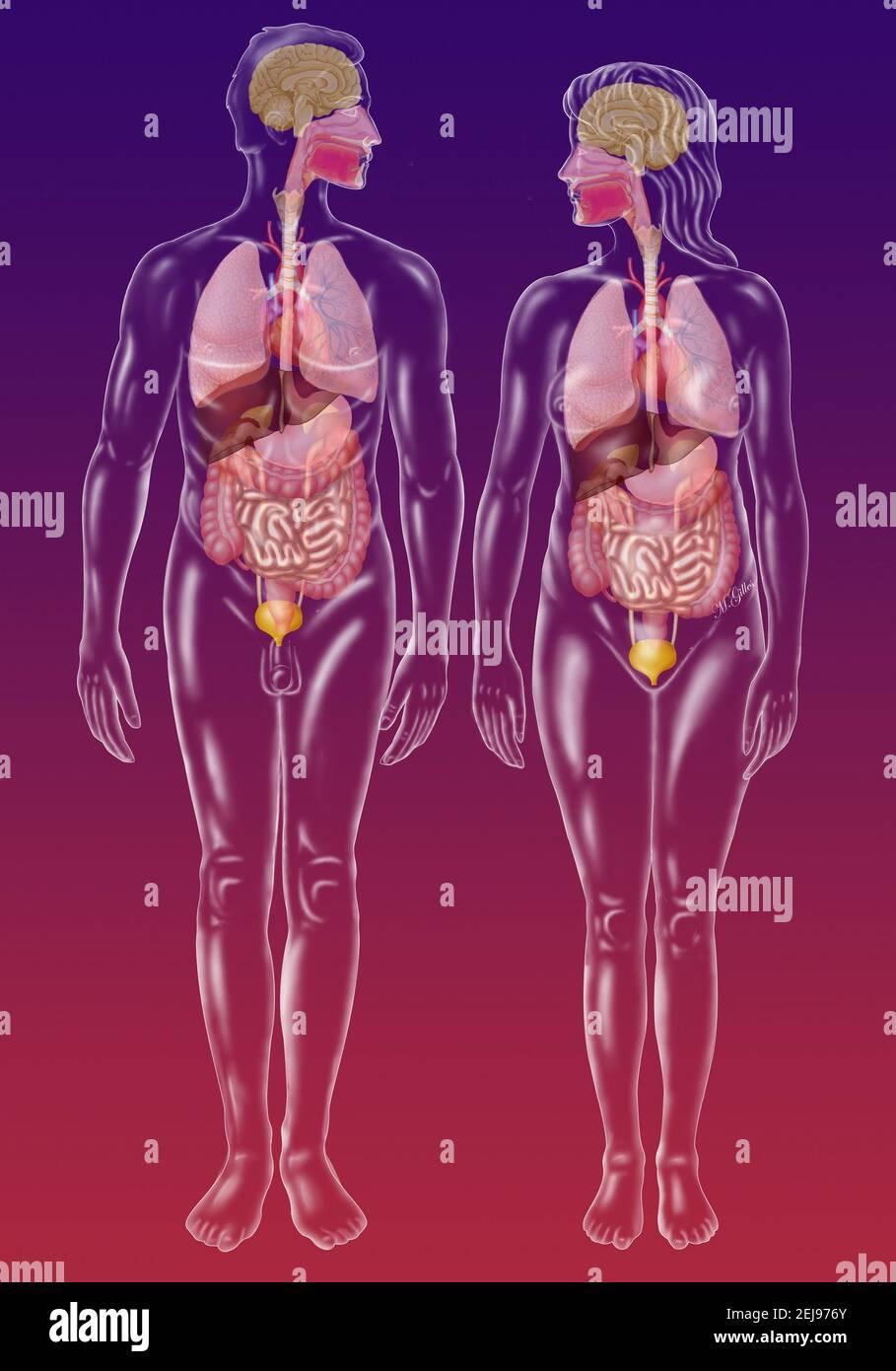 Anatomie Banque D'Images