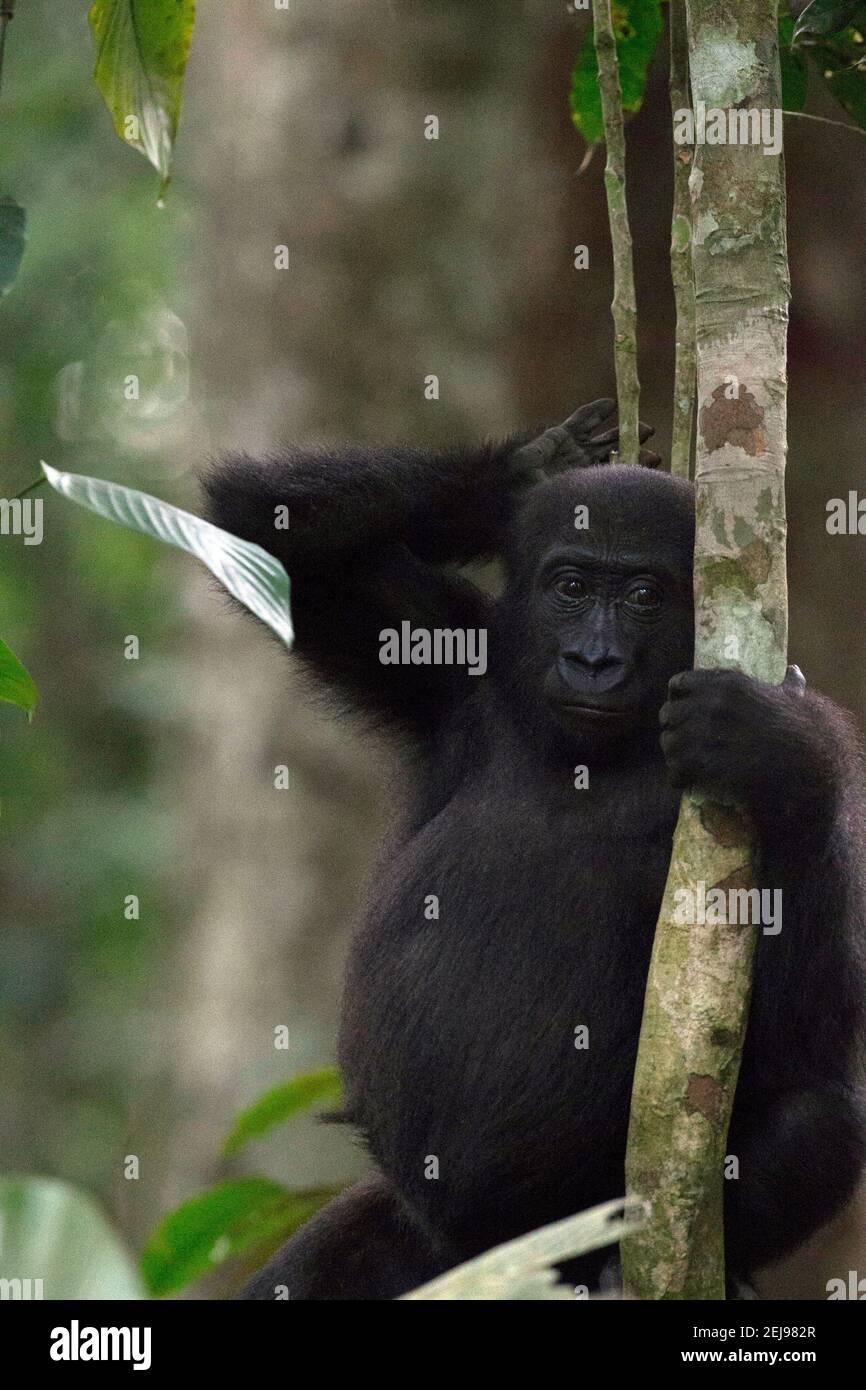 Gorille de plaine de l'Ouest Banque D'Images