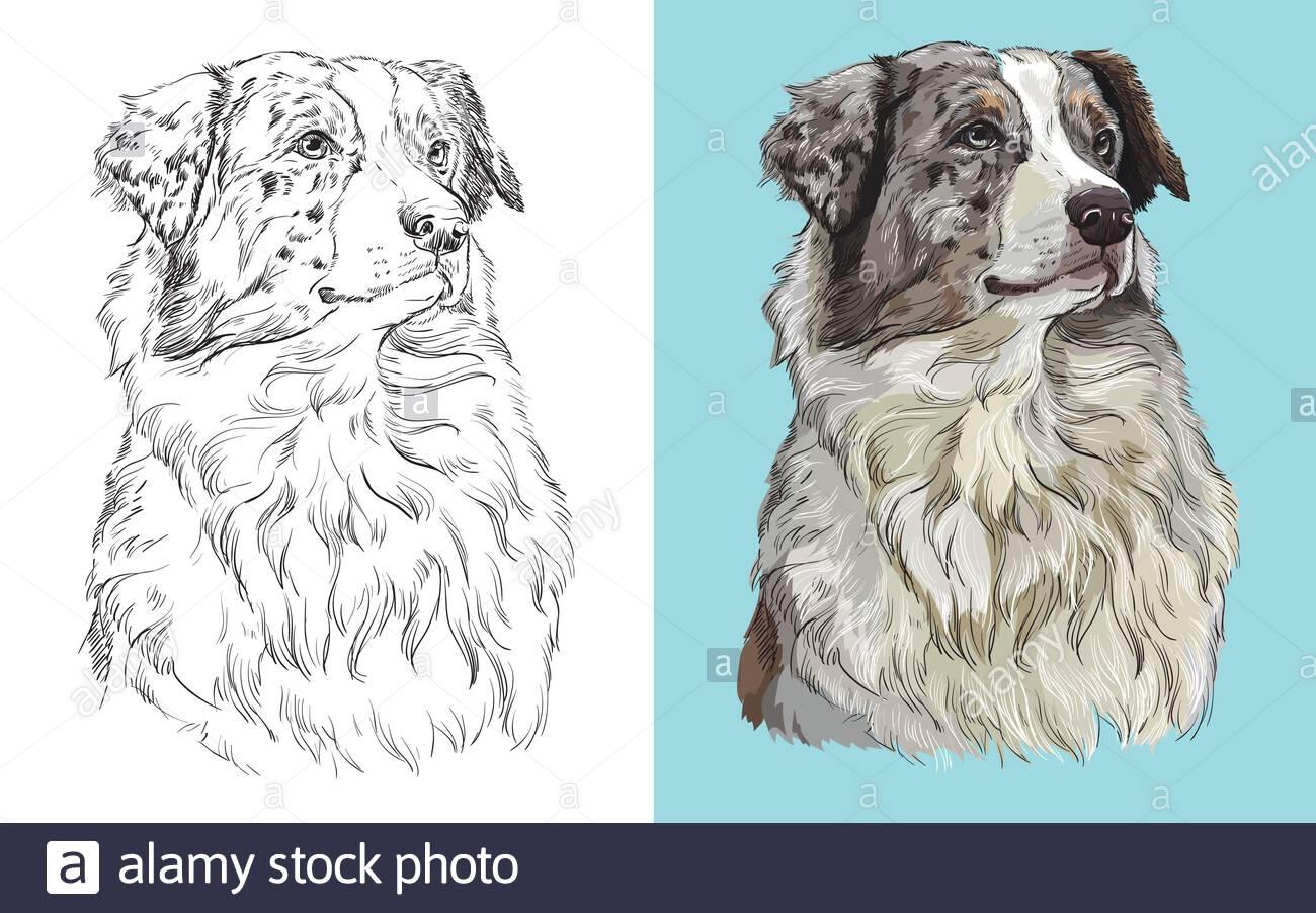 Tête réaliste du berger australien américain. Illustration ...