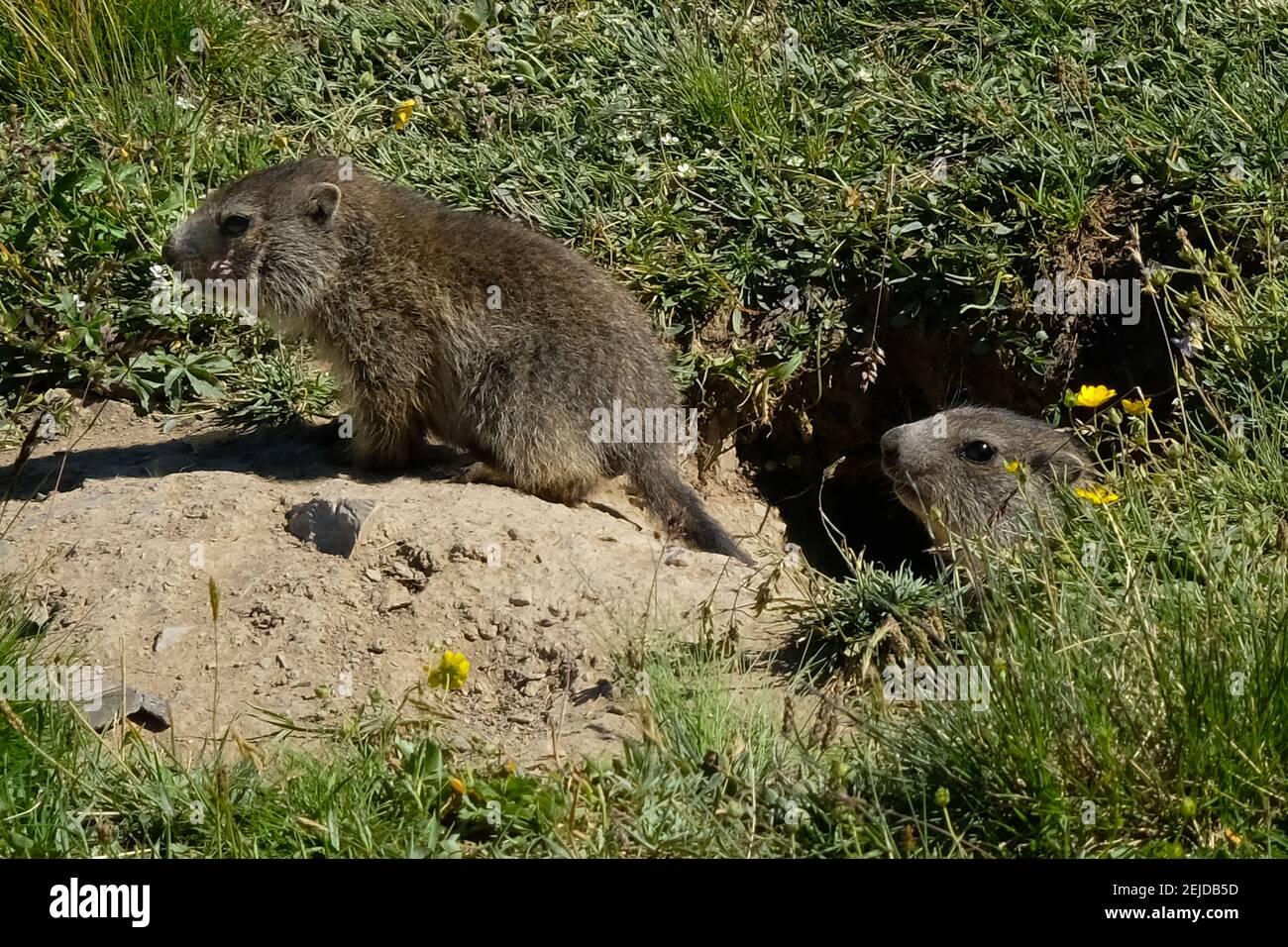 Jeunes marmottes à la recherche de nourriture dans les Alpes françaises. Banque D'Images