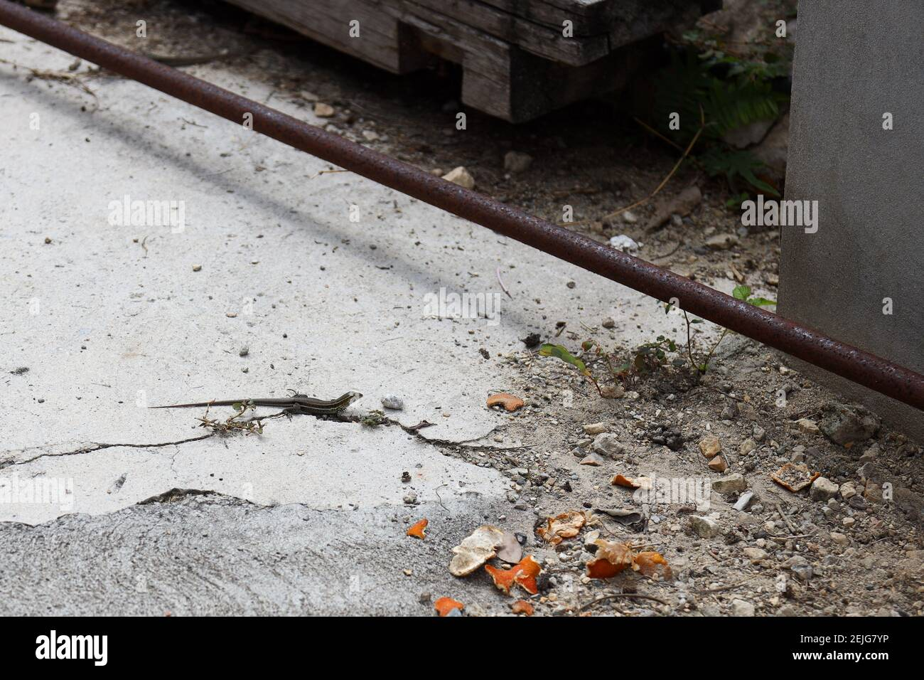 Petit reptile de lézard de Gecko qui s'exécute parmi les débris de construction dans le Climat chaud des Caraïbes Banque D'Images