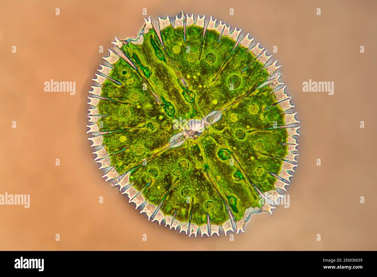 Micrasterias (Micrasterias rotata), algue verte unicellulaire, image IRM à contraste de phase, grossissement x100 par rapport à 35 mm Banque D'Images