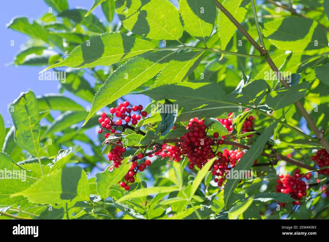 Roter Holunder, Trauben-Holunder, Traubenholunder, Bergholunder, Berg-Holunder, Reife Früchte, Sambucus racemosa, Elder rouge, Elderberry rouge, f Banque D'Images