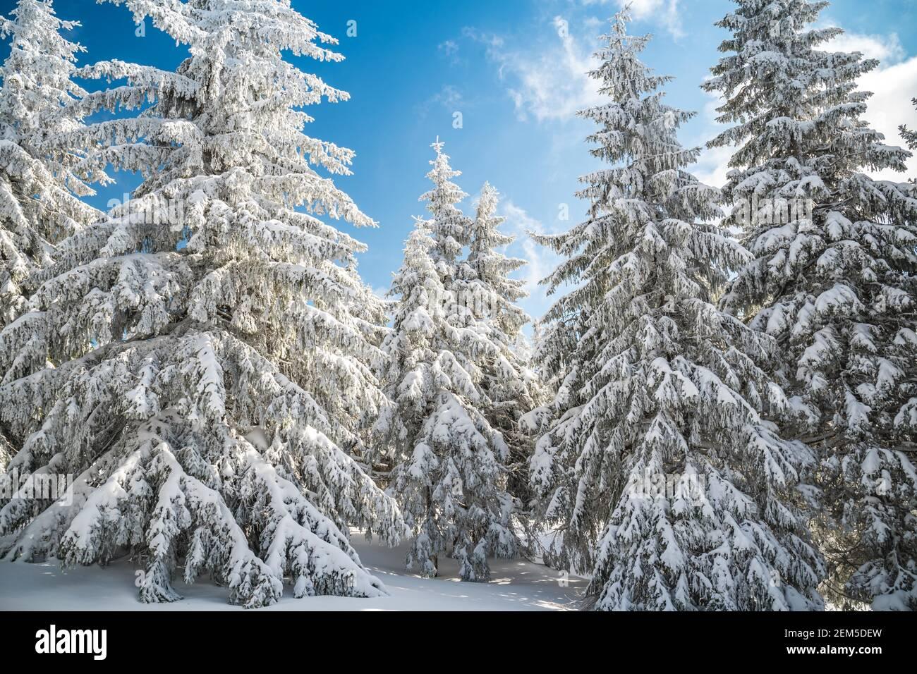 Majestueux sapins blancs illuminés par la lumière du soleil contre le ciel bleu foncé. Magnifique scène d'hiver. Lieu République tchèque, Krkonose. Banque D'Images
