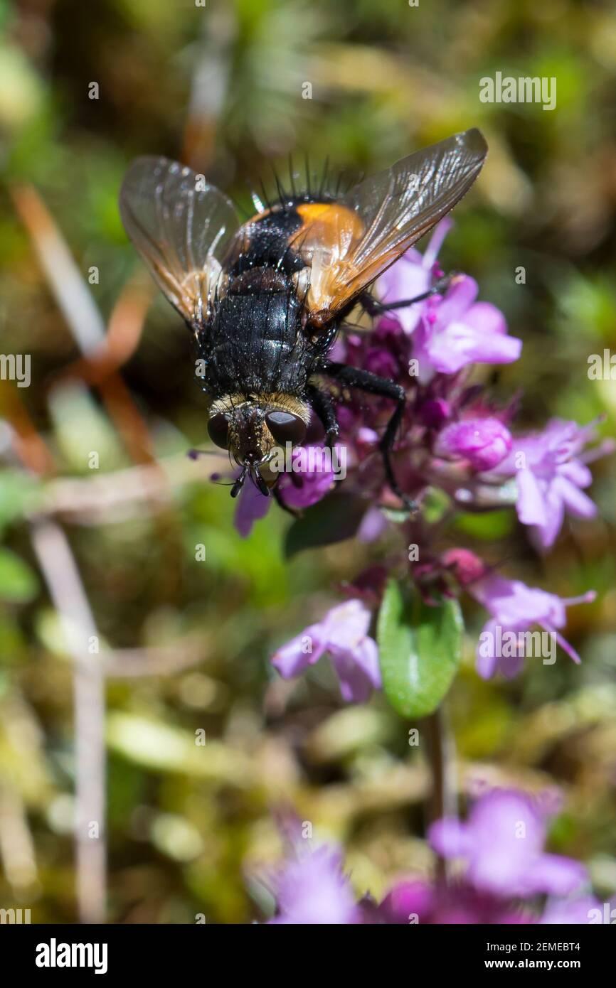 Raupenfliege, Borstenfliege, Nowickia ferox, Raupenfliegen, Tachinidae, Schmarotzerfliegen, tachinides, mouches parasites Banque D'Images