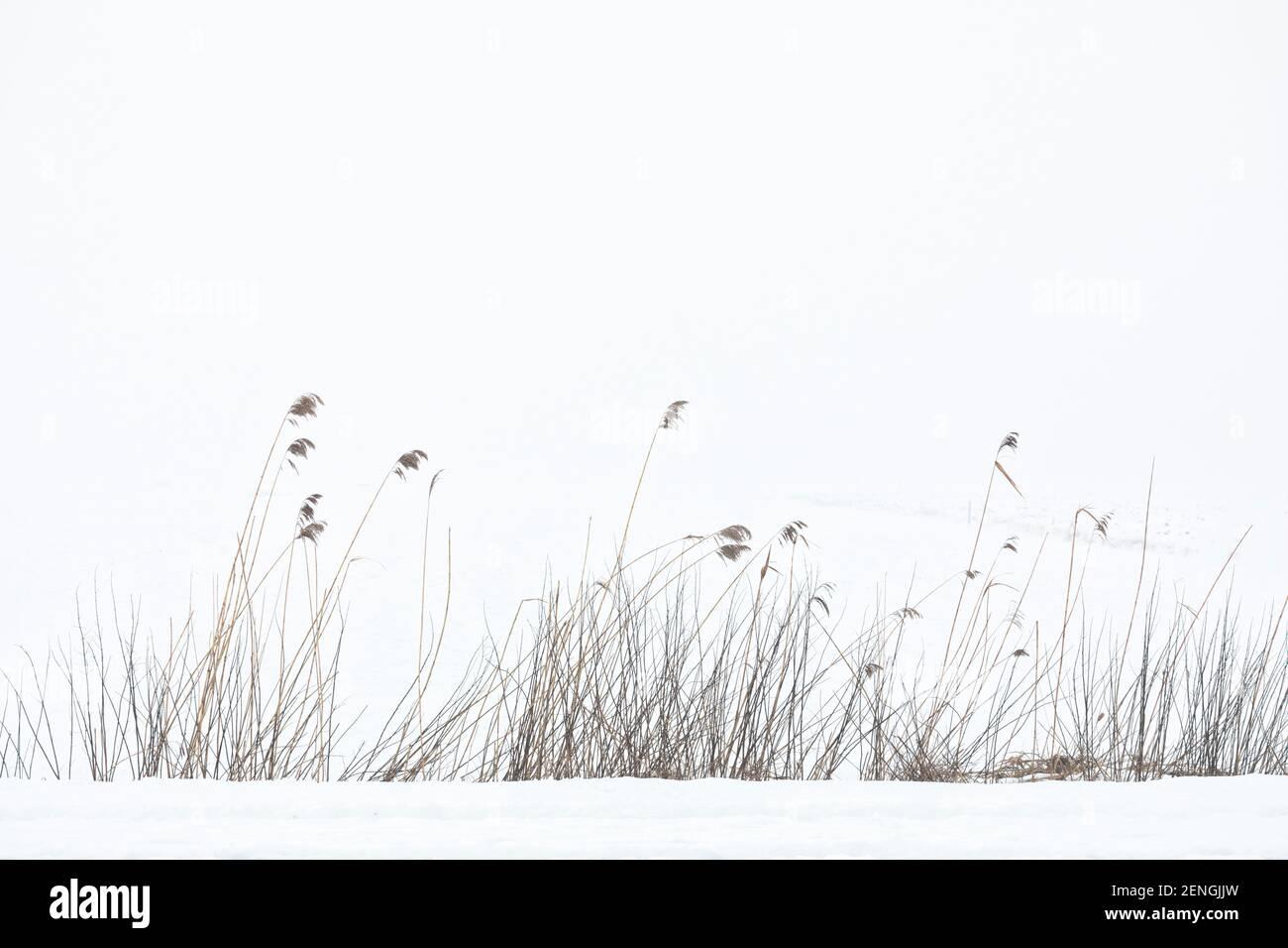 Paysage d'hiver. Roseau au bord d'un champ couvert de neige dans la brume matinale. Banque D'Images