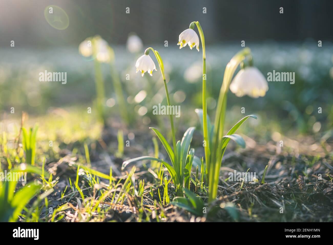 Leucojum vernum ou flocon de neige printanier - fleurs blanches en fleurs au début du printemps dans la forêt, photo macro de clôture avec rayons du soleil. Banque D'Images