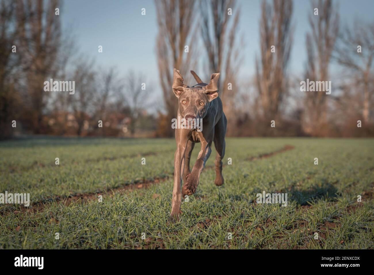 Chien Weimaraner de race pure en plein air dans la nature sur la prairie d'herbe le jour de l'automne. Banque D'Images