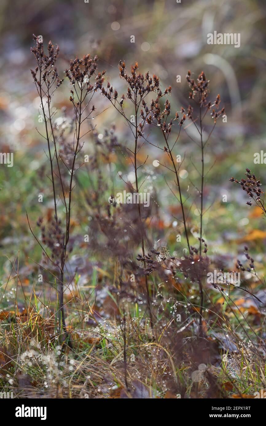 Johanniskraut, trockene Stängel im Herbst, abgetrocknete Pflanze, Tüpfel-Johanniskraut, Echtes Johanniskraut, Durchlöchertes Johanniskraut, Tüpfeljoha Banque D'Images