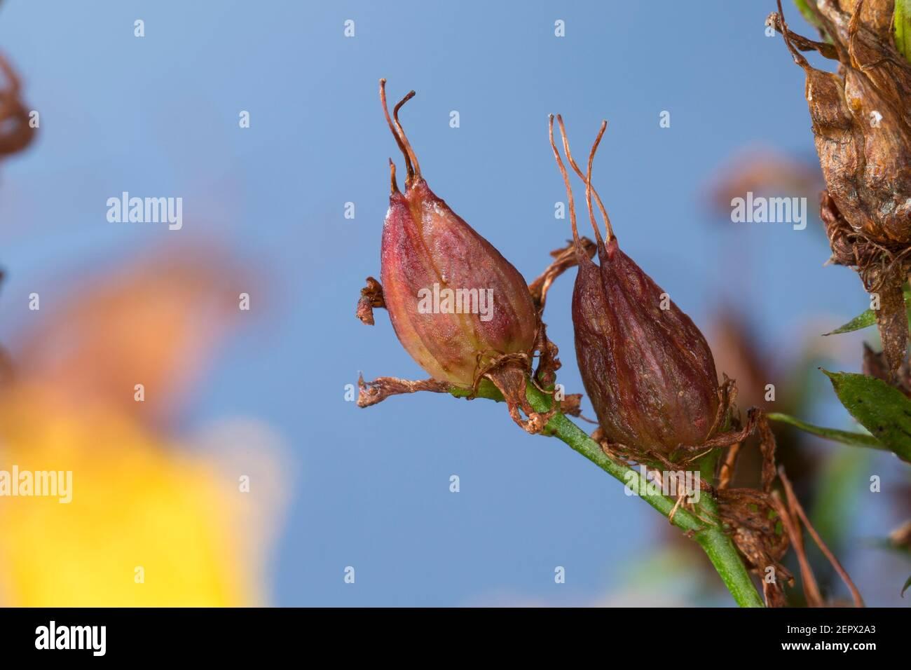 Johannes, Frucht, Früchte, Tüpfel-Johanniskraut, Echtes Johanniskraut, Kärnten, Tüpfeljohanniskraut, Tüpfel-Hartheu, Hartheu Banque D'Images