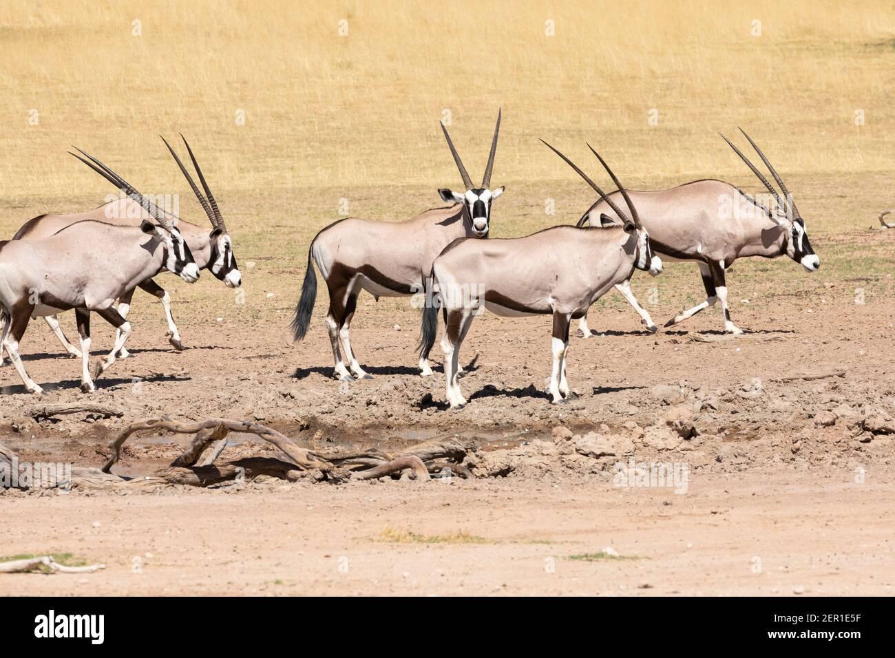 Troupeau de Gemsbok ou Gembuck (Oryx gazella) au trou d'eau de la rivière Auob, parc transfrontalier Kgalagadi, Kalahari, Cap Nord, Afrique du Sud Banque D'Images