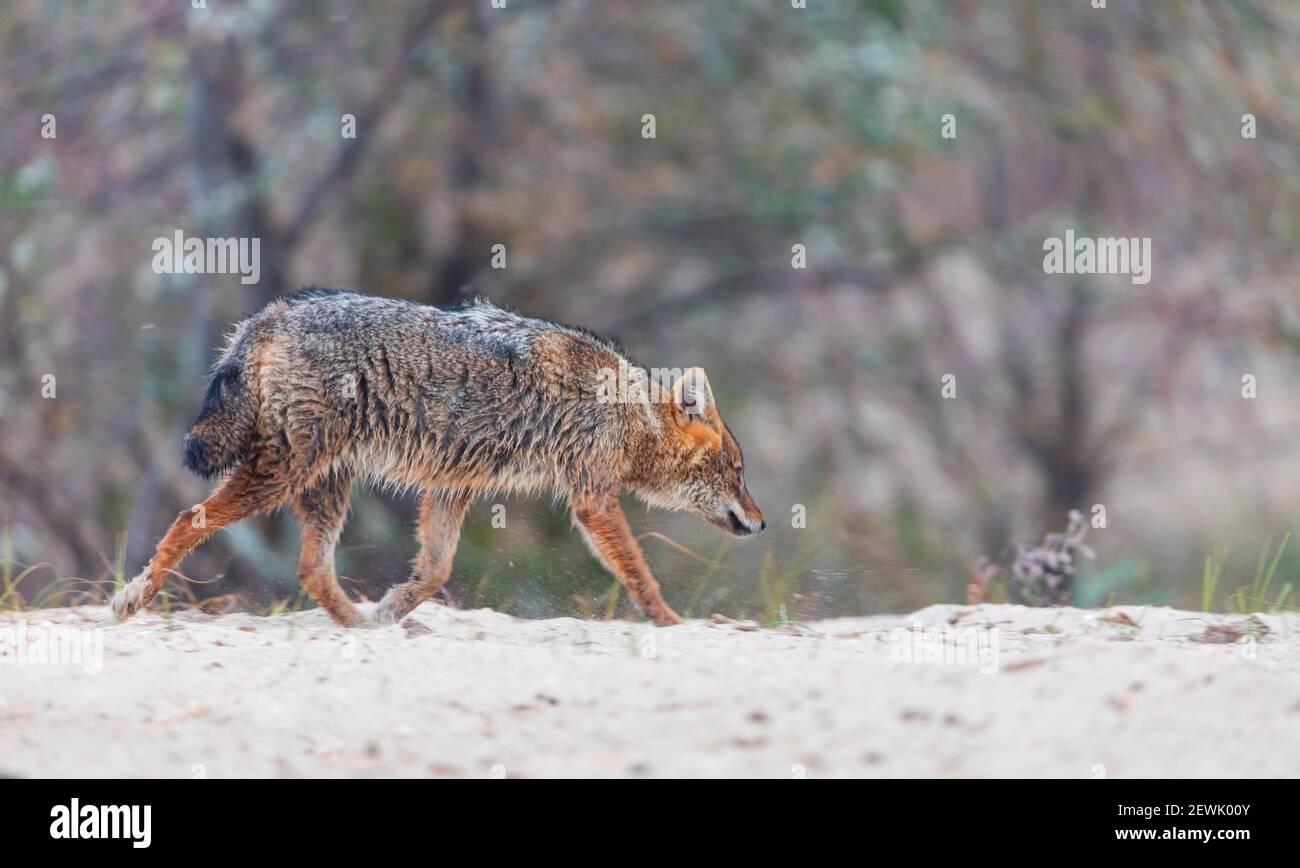 Golden Jackal - CHACAL DORADO (Canis aureus), Delta du Danube - DELTA DEL DANUBIO, Ramsar Wetland, site mondial de l'Heritgage de l'UNESCO, Comté de Tulcea, Roumanie, Banque D'Images