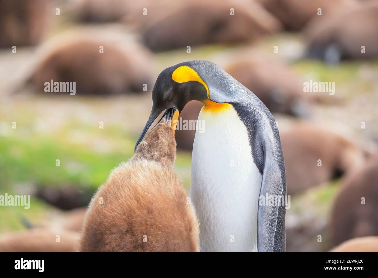 Un manchot royal adulte (Aptenodytes patagonicus) nourrissant son poussin, le Falkland oriental, les îles Falkland, l'Amérique du Sud Banque D'Images