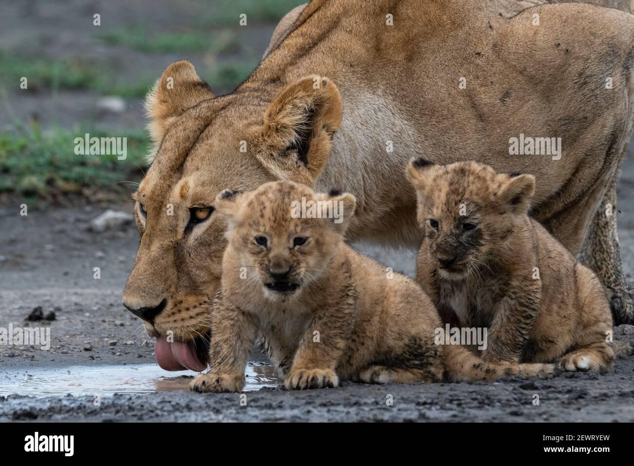 Une lionne (Panthera leo) avec ses petits de quatre semaines, Ndutu, zone de conservation de Ngorongoro, Serengeti, Tanzanie, Afrique de l'est, Afrique Banque D'Images