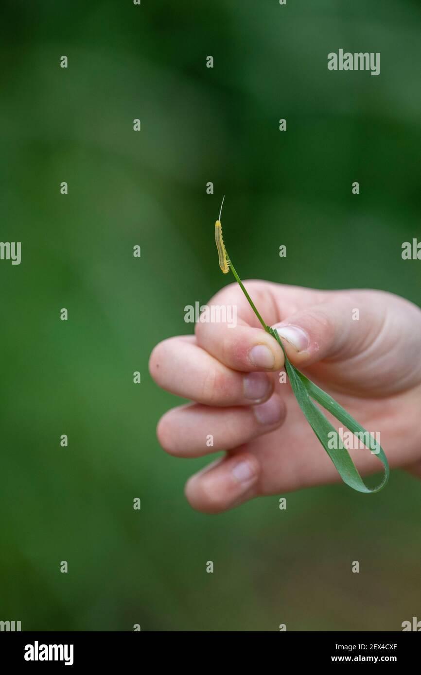 Enfant tenant une chenille sur une lame d'herbe Banque D'Images