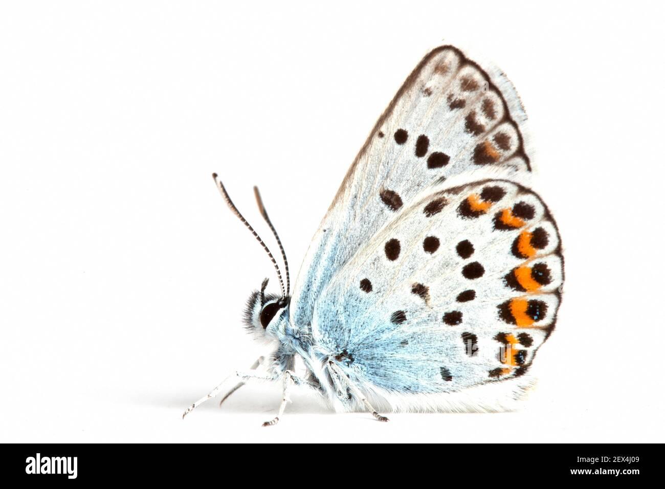 Bleu argenté (Plebejus Argus) sur fond blanc, Remuzat, Drôme, Provence, France Banque D'Images