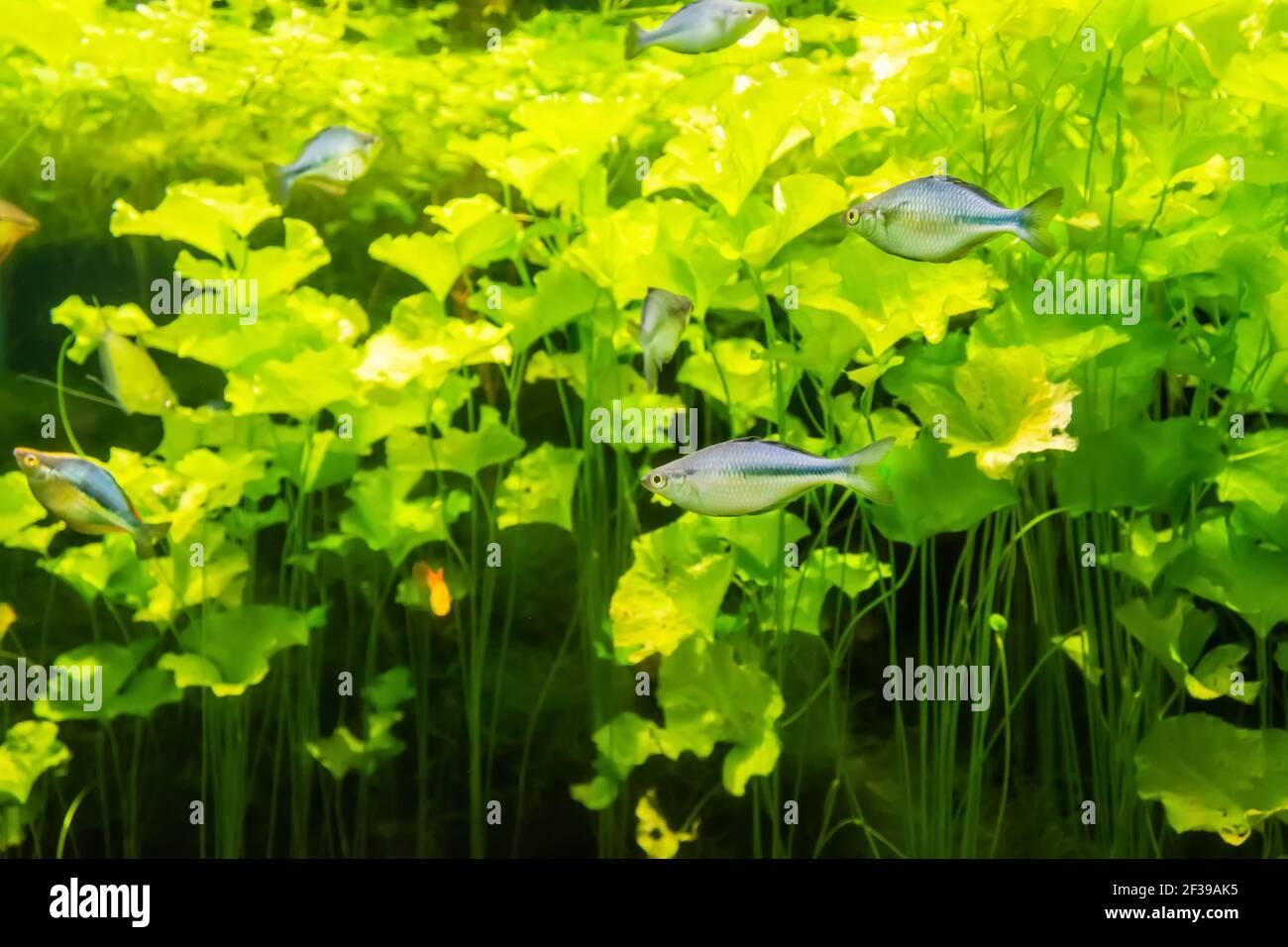 Aquarium de rivière poissons dans un aquarium avec des algues vertes Banque D'Images