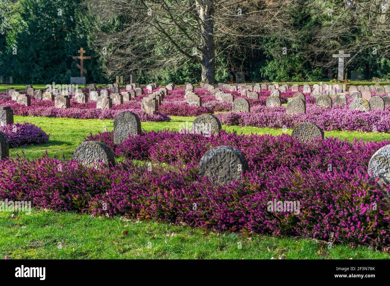 Violette Erika zwischen Weltkriegsgräbern auf dem Stadtfriedhof Göttingen, Niedersachsen, Deutschland | Violet Erica entre les tombes commémoratives de guerre Banque D'Images