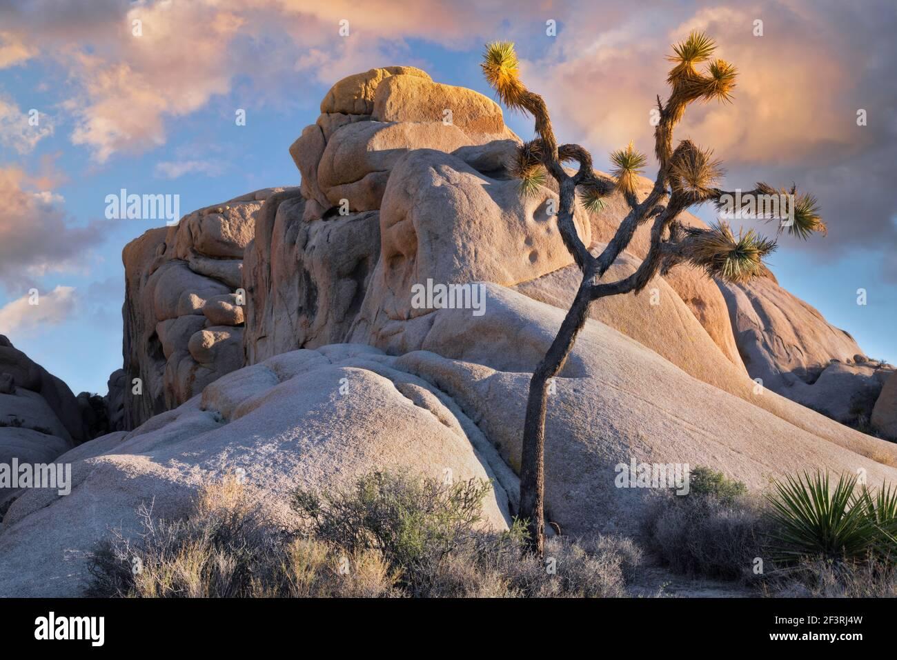 Chaleur au coucher du soleil sur Jumbo Rocks et ce grand Joshua Tree dans le parc national de Joshua Tree, dans le sud de la Californie. Banque D'Images