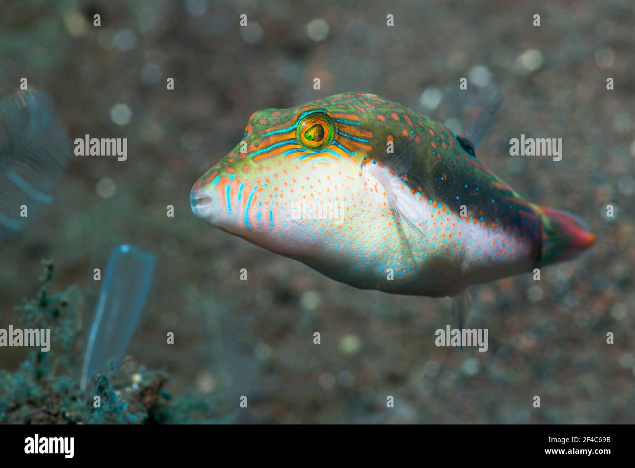 toby de Bennett [Canthigaster bennetti]. Tulamben, Bali, Indonésie. Banque D'Images