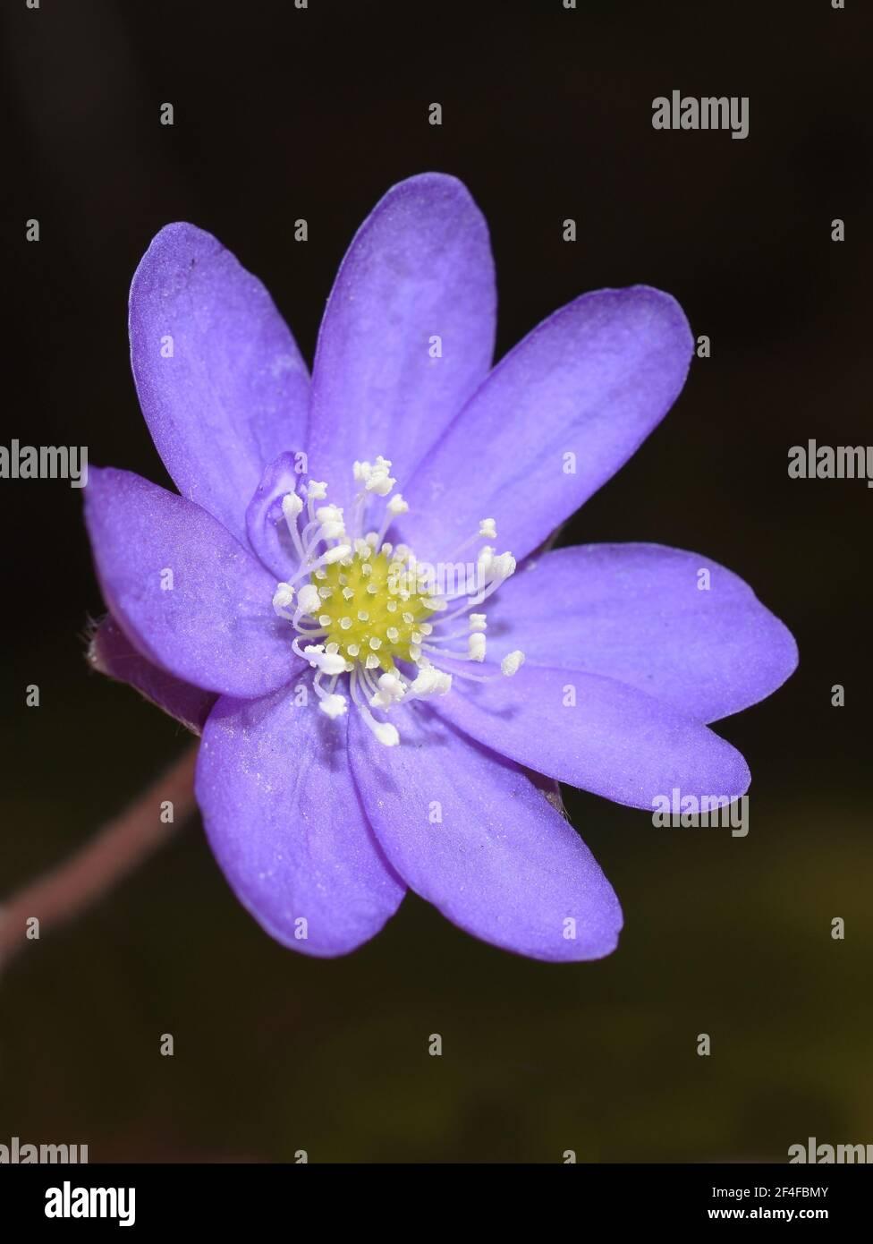 Anémone bleu Hepatica nobilis liverwort sur fond sombre Banque D'Images
