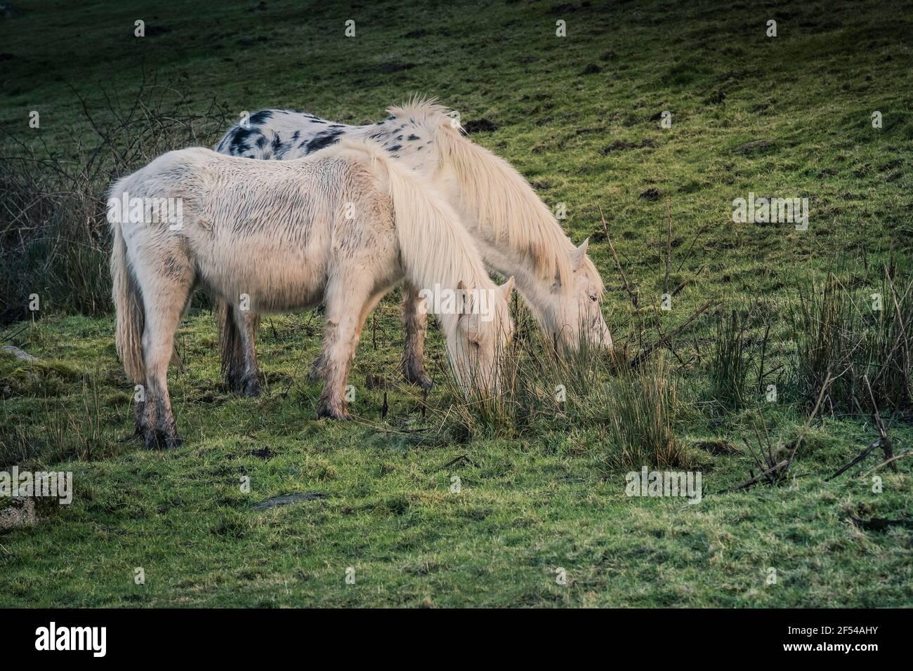 Des étangs bodmin emblématiques qui paissent sur la bodmin Moor dans les Cornouailles. Banque D'Images