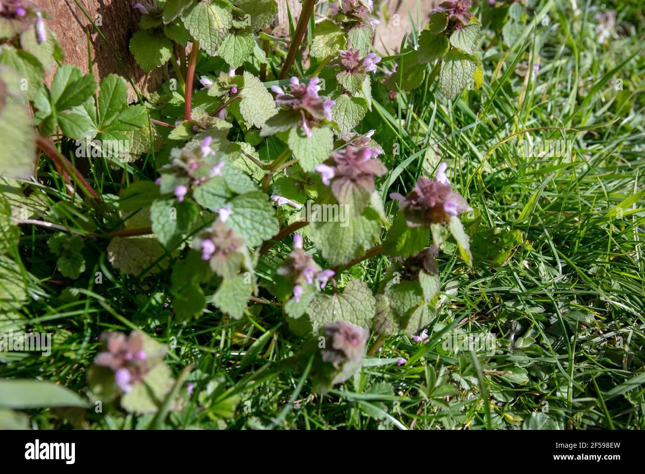 Gros plan des fleurs sauvages Red Dead-nettle (Lamium purpueum) Banque D'Images