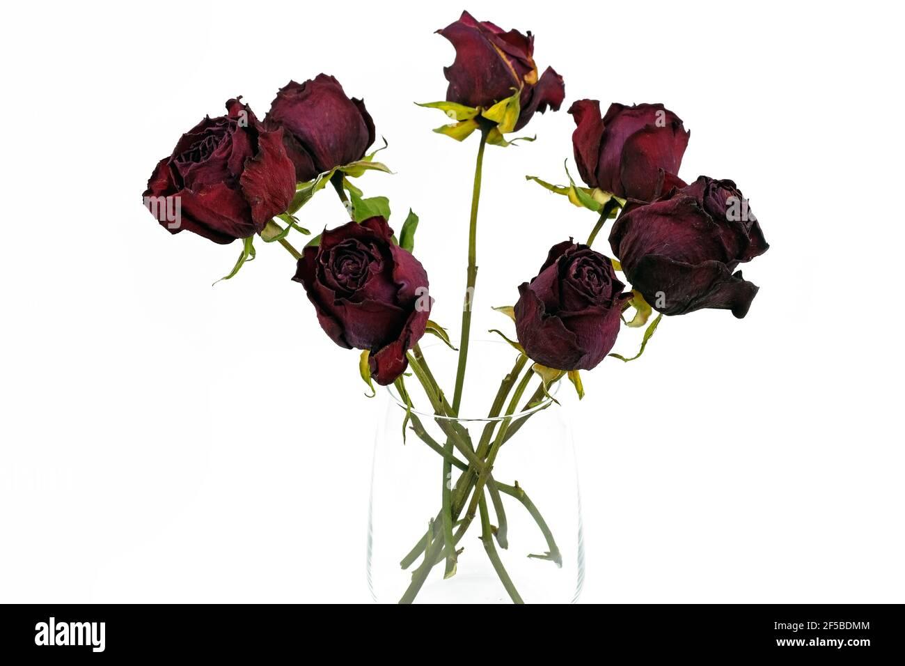 Séchez les roses dans un vase en verre sur fond blanc. Fleurs séchées dans un verre. Herbarium, un bouquet de roses rouges séchées. Banque D'Images