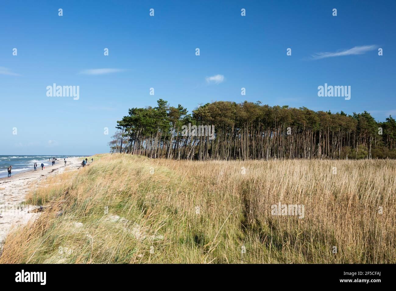 Géographie / voyage, Allemagne, Mecklenburg-Ouest Pomerania, Fischland-Darss-Zingst, Darss, Parc national , droits-supplémentaires-autorisation-Info-non-disponible Banque D'Images