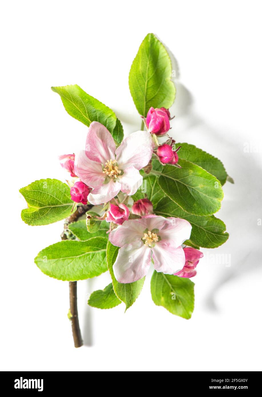 Fleurs de printemps. Pommier fleuri avec des feuilles vertes sur fond blanc Banque D'Images
