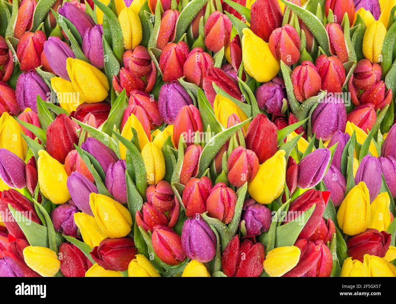 Bouquet de fleurs fraîches de tulipe de printemps avec gouttes d'eau. Fond floral Banque D'Images