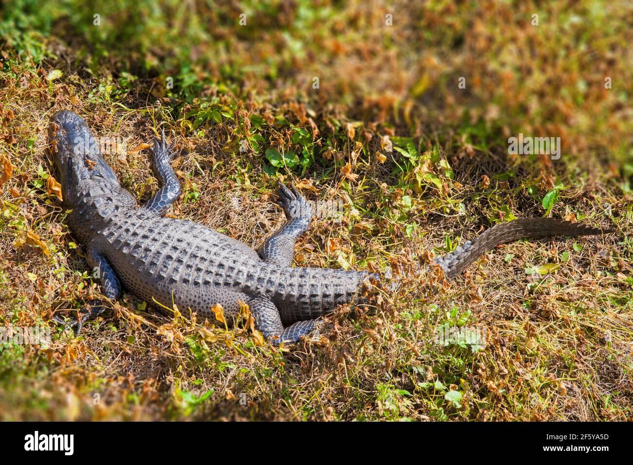 Un alligator vu depuis la Tour d'observation de Shark Valley, dans le parc national des Everglades, en Floride. Banque D'Images