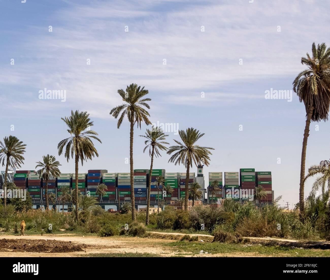 Village de Manshiat al-Rahula, près de Suez, Égypte. 29 mars 2021. Le Evergid flotte enfin parallèle au canal de Suez pendant qu'un chameau regarde dessus. B. O'KANE/A. Banque D'Images