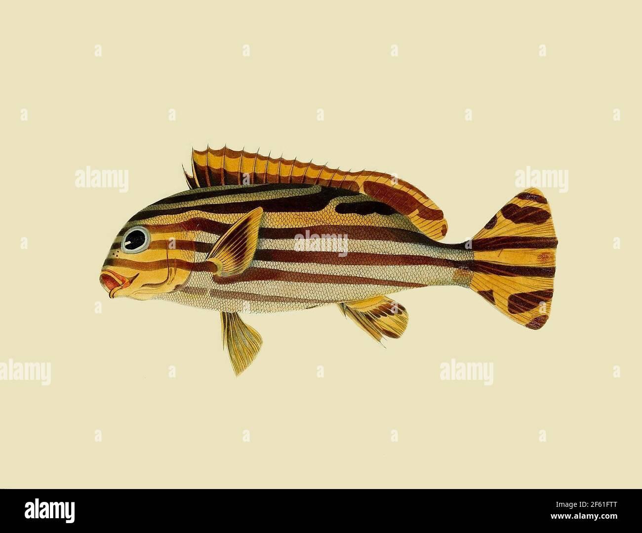 Illustration des Sweetlips orientales de l'océan Indien Banque D'Images