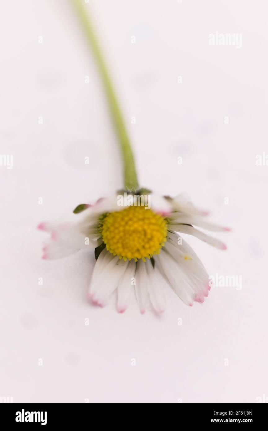 Un seul Daisy / Bellis perennis sur fond blanc Banque D'Images