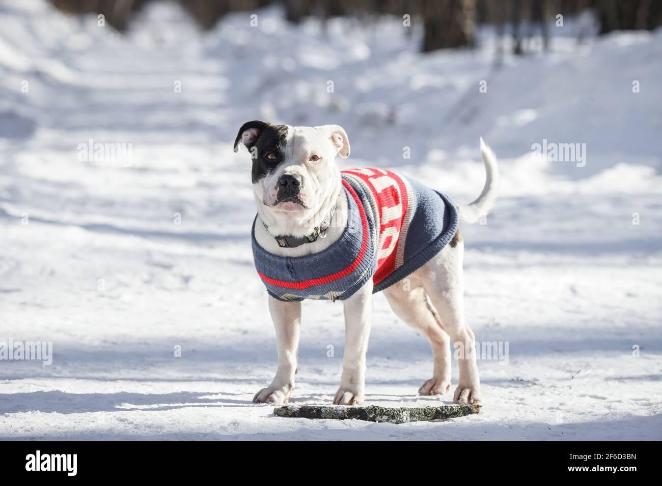 Portrait d'un joli chien blanc Pit Bull regardant l'appareil photo sur un fond blanc neige avec un espace de copie. Faible profondeur de champ Banque D'Images
