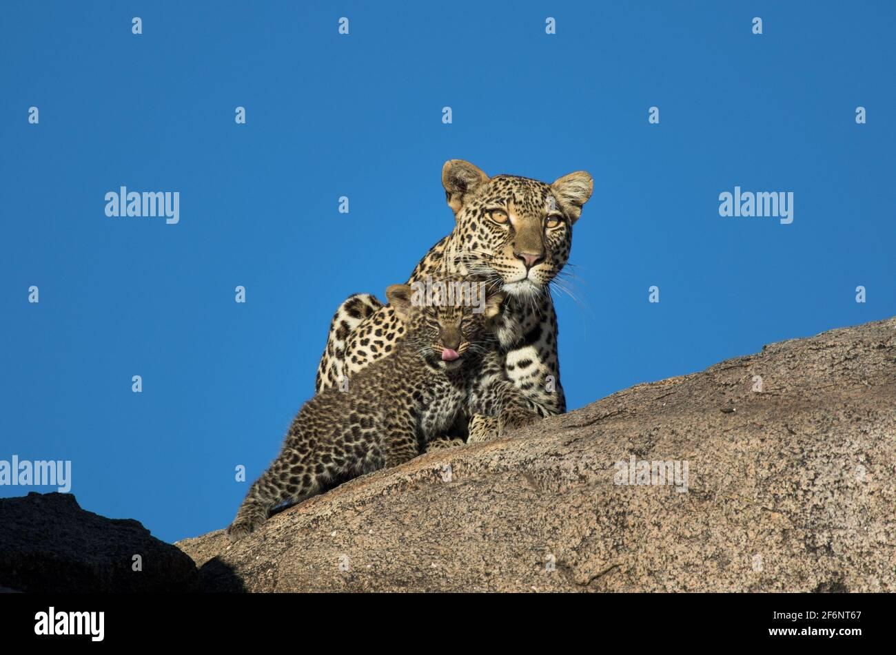 Mère léopard et cub dans les plaines Namiri de Serengeti, Tanzanie. Banque D'Images