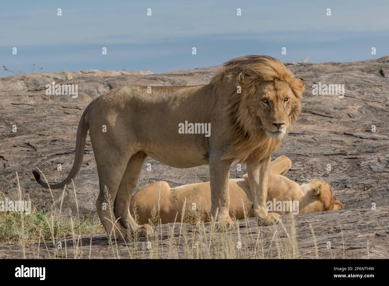 Les lions d'accouplement dans le Serengeti, Tanzanie. Banque D'Images