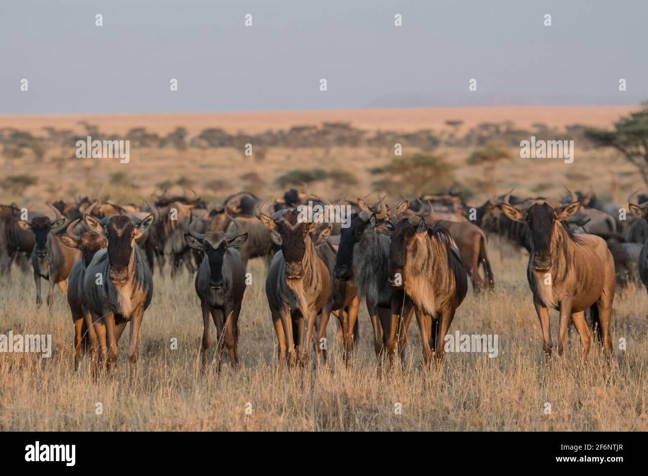 Les troupeaux les plus sauvages se rassemblent autour des plaines Namiri de Serengeti, en Tanzanie. Banque D'Images