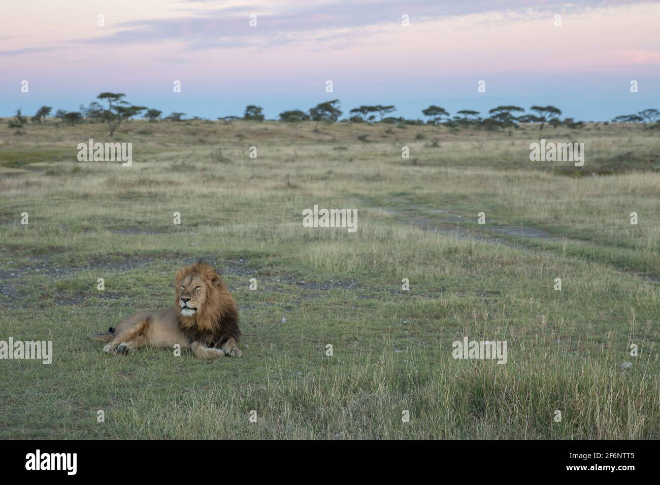 Lion masculin dans le parc national de Serengeti en Tanzanie. Banque D'Images
