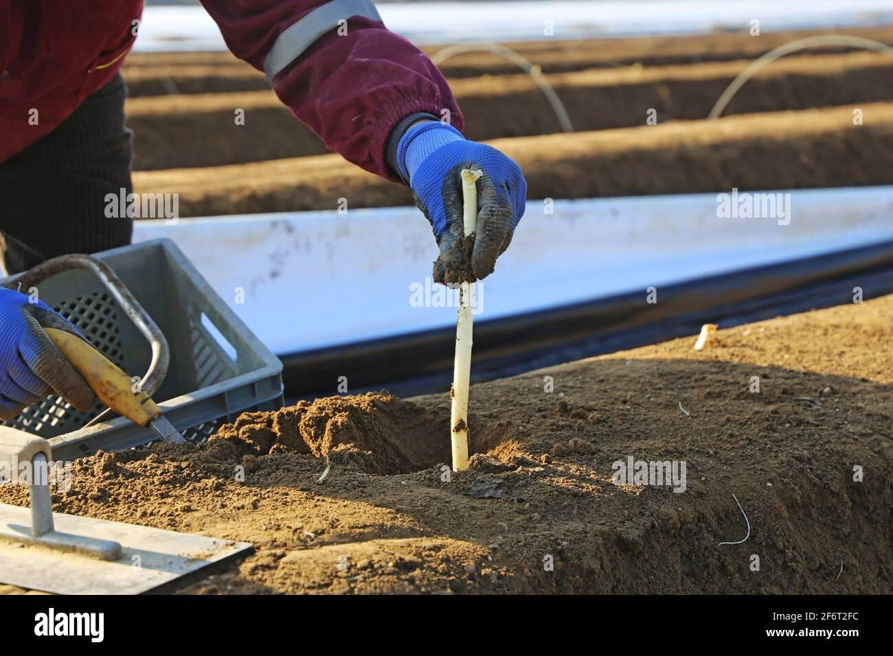 Récolte d'asperges agricoles. Banque D'Images